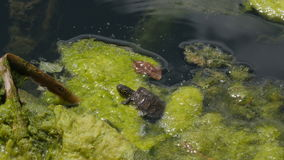 Small turtle moving around in water channel. Sombor, Serbia. stock video footage