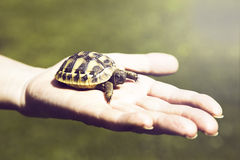 Small turtle in the palm of hand Royalty Free Stock Photography