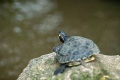 Small turtle resting on a rock royalty free stock photography