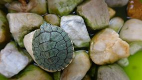 A small turtle rests on a stone royalty free stock photography