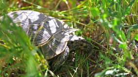 Tortoise sits in the grass. Small turtle sits in a green grass stock footage