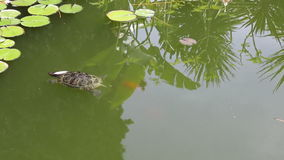A small turtle swims in the pond. Summer day stock footage