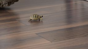 Small turtle walking indoor. Exotic animal at home stock video