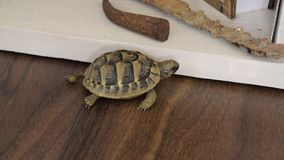 Small turtle walking indoor. Exotic animal at home stock footage