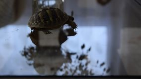 Small turtle walking indoor. Exotic animal at home stock video footage