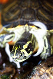 Small turtle Royalty Free Stock Image