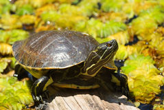 Small turtle on the wood. In Bermooda zoo and aqurium royalty free stock image