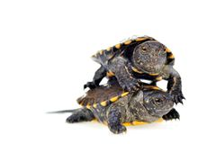 Small turtles Stock Images