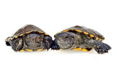 Small turtles Royalty Free Stock Photos