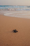 Small turtles backing to the ocean stock photos