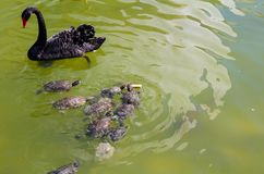 Small turtles are chasing a piece of bread near the swan royalty free stock photos