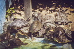 Small turtles climbed on each other Royalty Free Stock Images