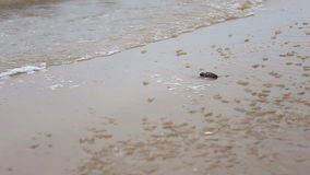 Small turtles going into ocean on the beach stock video