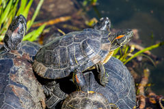 Small turtles in water. Pyramid Stock Photos