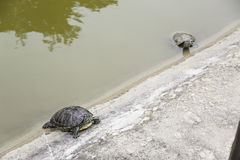 Small turtles water Royalty Free Stock Photos