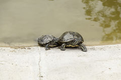 Small turtles water Royalty Free Stock Image