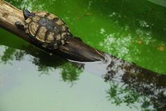 Small turtles in wildlife Stock Images