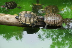 Small turtles in wildlife. Two cute small turtles in wildlife  waters Royalty Free Stock Image