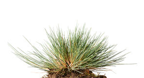 Small tussock of wild grass Stock Image