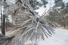 Small twig with frosted fir needles. Winter landscape, snow covered fir trees with small twig of frosted fir needles on foreground, close up Stock Photo