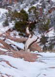 A small twisted juniper tree has fresh snow clinging to the trunk and the rock it`s growing from stock photo