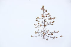 Small Ugly Pine Alone In Snow Royalty Free Stock Photo