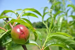 Small unripe green nectarine on the tree in an orchard Royalty Free Stock Photography
