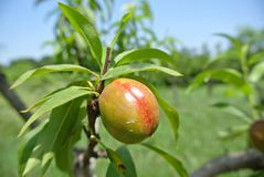 Small unripe green nectarines on the tree in an orchard Stock Photos