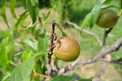 Small unripe green nectarines on the tree in an orchard Stock Photo