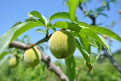 Small unripe green peaches on the tree in an orchard Royalty Free Stock Photo