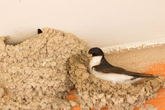 Small urban bird building its nest Stock Image