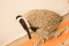 Small urban bird building its nest Stock Images