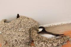 Small urban bird building its nest Royalty Free Stock Photo