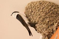 Small urban bird building its nest Royalty Free Stock Image