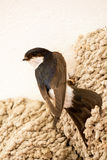 Small urban bird building its nest Royalty Free Stock Images