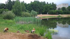 Small urban lake, inhabited by ruddy Shelduck, Moscow suburbs Russia. The ruddy shelduck or Tadorna ferruginea, known in India as the Brahminy duck, is a member stock video