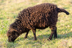 Small Ushant island sheep Stock Photos
