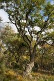 Small Utrish, Caucasus, Russia. Trees juniper Small Utrish Caucasus Black Sea Russia stock photos