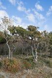 Small Utrish, Caucasus, Russia. Trees junipe Small Utrish Caucasus Black Sea Russia stock photos