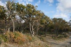 Small Utrish, Caucasus, Russia. Trees juniper Small Utrish Caucasus Black Sea Russia royalty free stock photos