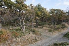 Small Utrish, Caucasus, Russia. Trees juniper Small Utrish Caucasus Black Sea Russia royalty free stock images