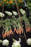 Small vegetable plot showing produce. Small vegetable plot with produce dug up carrots lettuce marigolds against black soil Stock Images