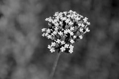 Small verbena flowers Stock Photography