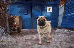 A small very cute pug guards its territory stock photos