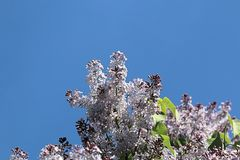 Lilac spring lilac and blue sky royalty free stock images