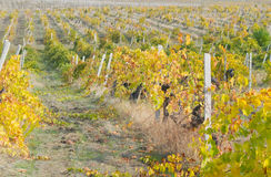 Small vine plants in well cared vineyard Royalty Free Stock Images
