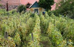 Small vineyard Stock Image