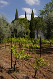Small vineyard. Small grape yard among trees, Montpellier, France Stock Photo