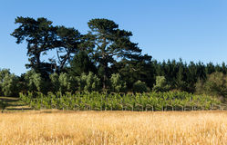 Small Vineyard Royalty Free Stock Images