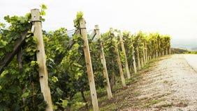 Small vineyard Royalty Free Stock Photography